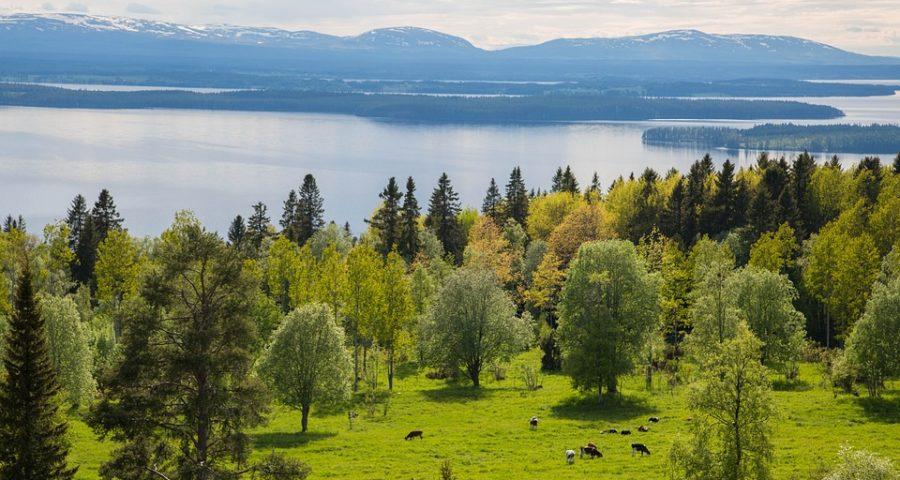 Sommarlandskap. Träd och ängar med betande kor i förgrunden. Flod i bakgrunden